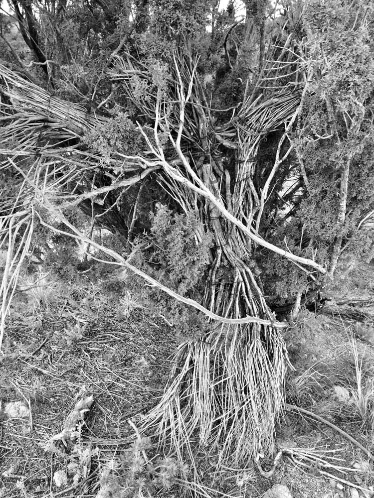 Angel of the Juniper Tree